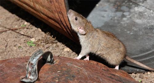 roedor001